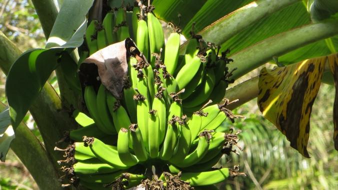Bananenstaude auf der Wanderung durch die Sierra del Rosario
