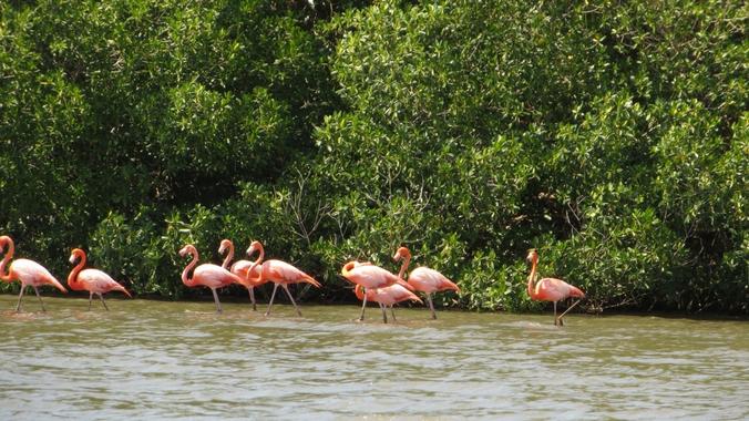 Flamingos in der Laguna Guanaroca auf Kuba