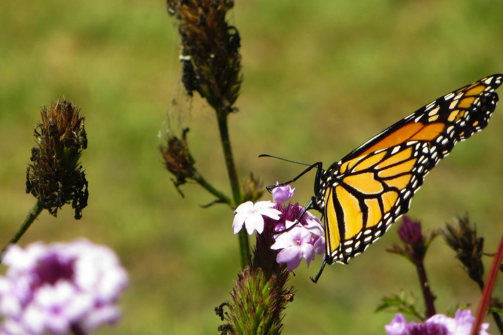 Schmetterling Kalifornien