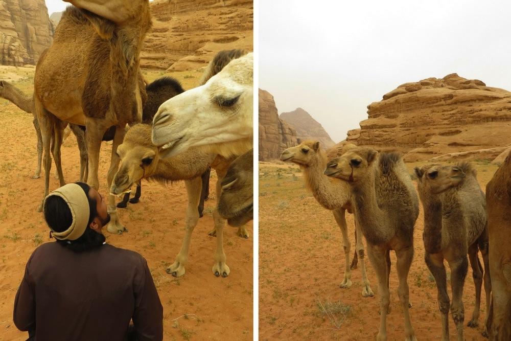 Wadi Rum Kamel