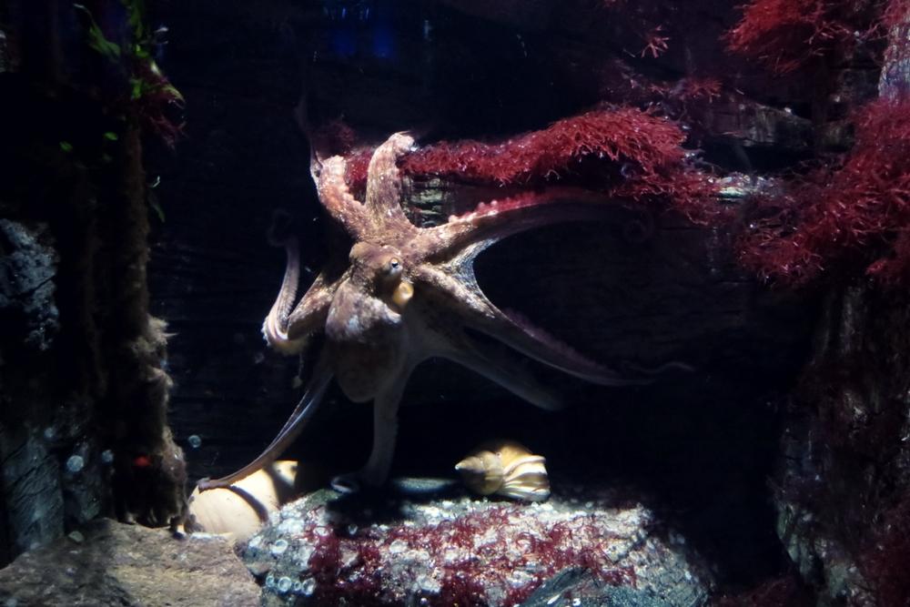 Ozeaneum Tintenfisch