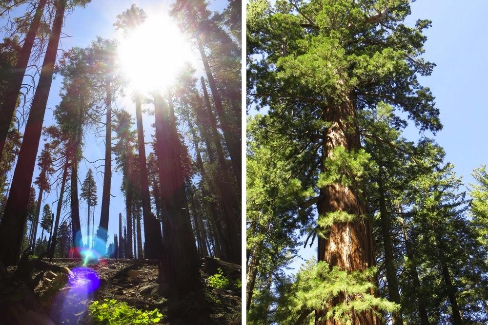 Yosemite Park Sequoia Bäume