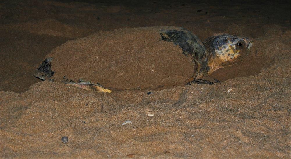 Bundaberg Australien Schildkröten