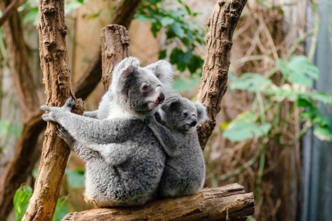 Koalabären Australien Ostküste Tipps