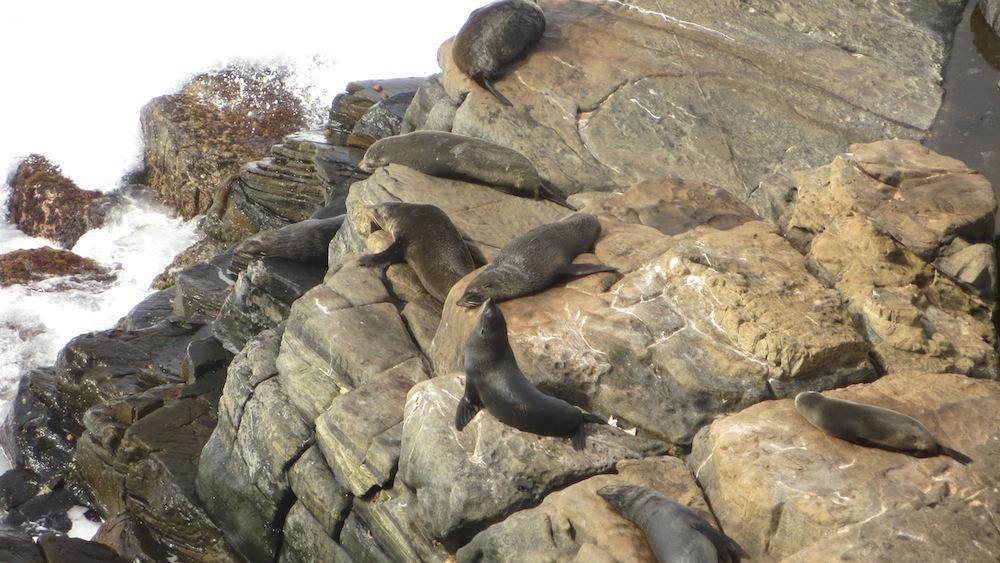 Neuseeland Robben Kangaroo Island