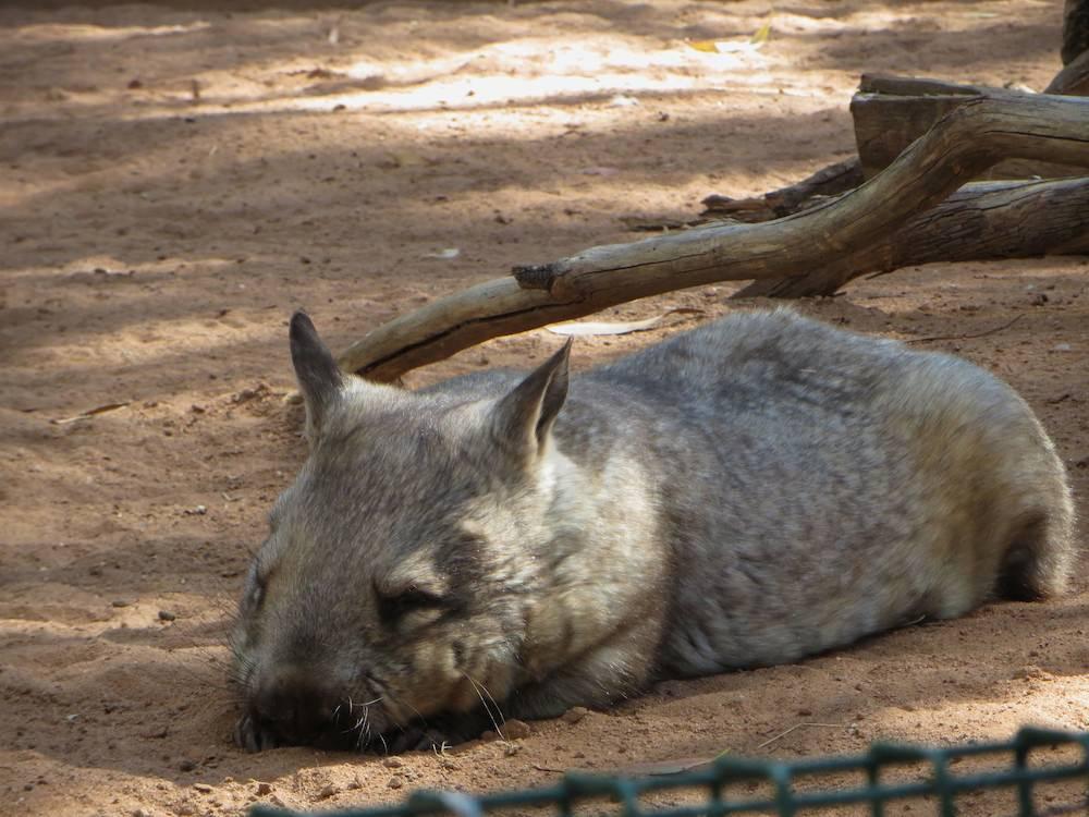 Wombat Cleland Wildlife Park