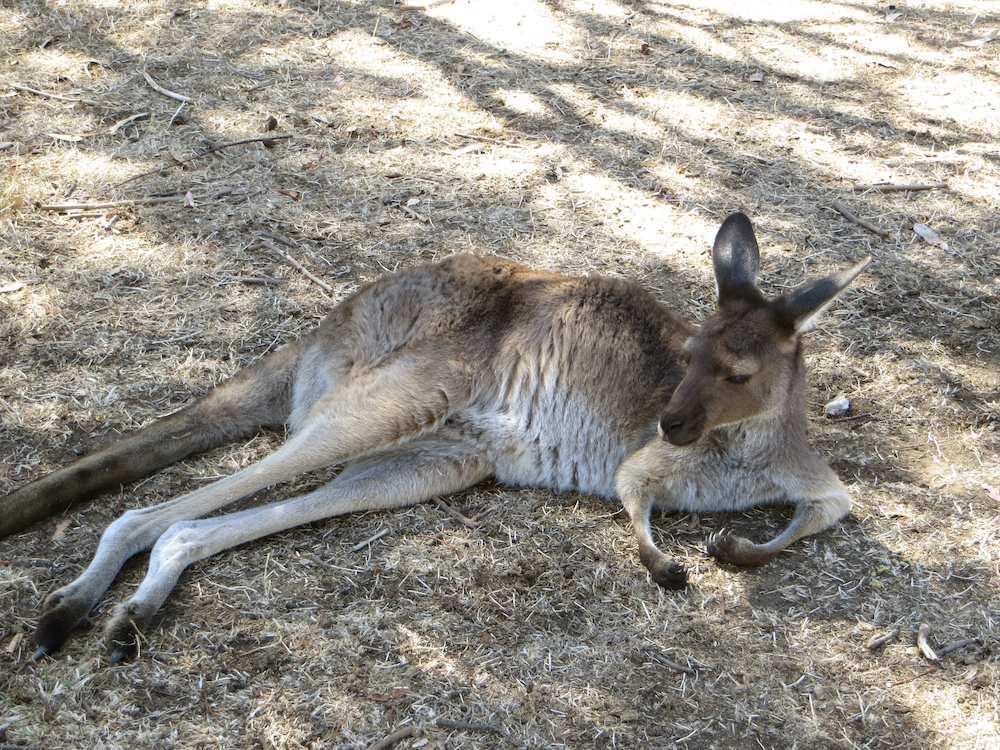 Känguru Cleland Wildlife Park