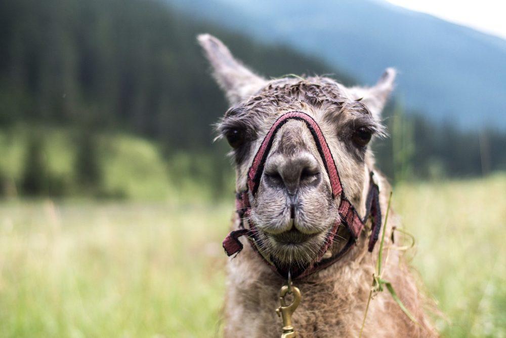 Wandern mit Lamas in Deutschland